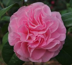 Camellia japonica 'Frankie Winn' (U.S., 1974)