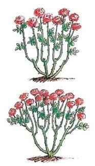 Rückschnitt von Rosen