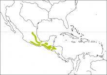 Black Thrush (Turdus infuscatus)