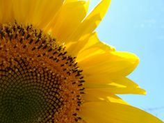 Sunflower :) I would send my grandmother a sunflower for her birthday, cause sunflowers follow the sun like my family did to her! Beso!