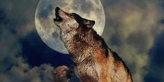 Stop hunt the Huckleberry wolf pack out of helicopter in Washington state!!!!