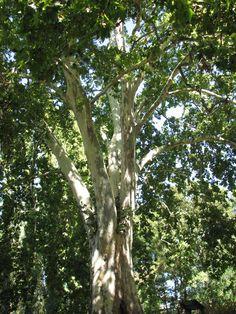 En el Jardín Botánico de Coria podemos  ver muchas especies de árboles y entre ellas domina por su porte el tremendo Plátano del Vivero, de enormes dimensiones.