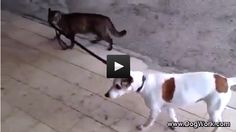 Cat Walks Dog by Its Leash