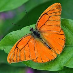 Orange Albatross Butterfly probably the only species in the world that is entirely orange in colour. Widely distributed from India to Australia