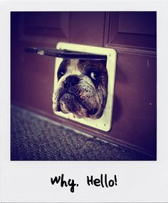 Not a pug but a bulldog, absolutely adorable! Cute Dog Photos, Dog Pictures, Animal Pictures, Funny Pictures, Pet Photos, Random Pictures, Stock Pictures, Funny Dogs, Funny Animals