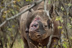 Can Fake Rhino Horn Stop the Poaching of an Endangered Species?