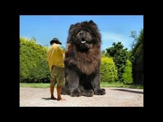 The biggest dog in the world ever! 2014