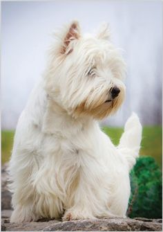 West Highland White Terrier (Westie)-maybe if I were to get a small dog (allergy friendly) Westies, Westie Puppies, Dogs And Puppies, Doggies, Bichons, West Highland Terrier, Highlands Terrier, Beautiful Dogs, Animals Beautiful
