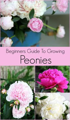 where to plant peonies flowers garden ; wo pfingstrosen blumen garten zu pflanzen where to plant peonies flowers garden ; Bloom, Peonies Wallpaper, Container Gardening, Gardening Tips, Organic Gardening, Vegetable Gardening, Gardening Courses, Beginners Gardening, Urban Gardening