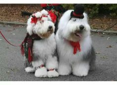 Old English Sheepdogs in costumes. French Mastiff Puppies, English Sheepdog Puppy, English Dogs, Christmas Animals, Christmas Dog, Funny Animal Pictures, Dog Pictures, I Love Dogs, Cute Dogs