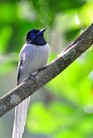 Image result for flycatcher blue kinabalu