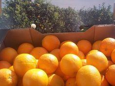 naranjas ecológicas de la huerta valenciana