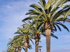 Large Row of Canary Island Date Palm Trees - Phoenix-canariensis via realpalmtrees.com