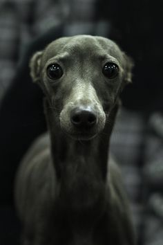 "The Italian Greyhound. The smallest of the sighthounds, & members of the toy group, overall, they look like ""miniature"" Greyhounds. Believed to have originated more than 4,000 yrs ago."