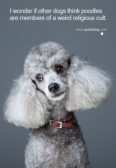 I wonder if other dogs think poodles are members of a weird religious cult #spartadog #dogs #quotes