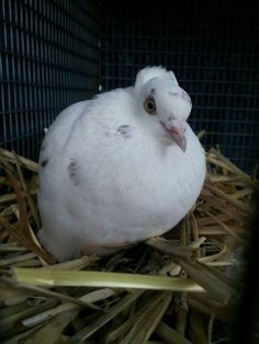 Moonshine is an adoptable Persian High Flyer Pigeon in San Jose, CA on @Petfinder.com.com.com.com.com