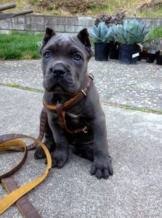 Puppie - amusing image Check out a some of our amazing Featured Cane Corso Breeds we Love! Cane Corso Mastiff, Chien Cane Corso, Cane Corso Dog, Cane Corso Puppies, Blue Cane Corso, Cane Corso Italian Mastiff, Cute Dogs Breeds, Large Dog Breeds, Cute Puppies And Kittens