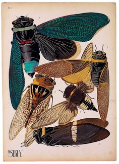 Vintage Scientific Illustrations + Art Nouveau Style = Eugène Séguy. Cicadas