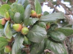 If harvested sustainably and treated to remove bitter tannins, acorns may once again have a more prominent place in the kitchen
