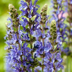 Buy Salvia nemorosa 'Blau Hügel'