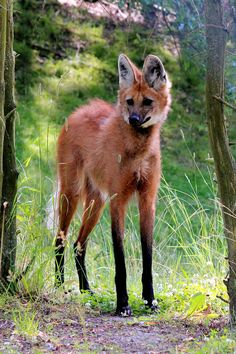 The maned wolf is the largest canid of South America, resembling a large fox with reddish fur.  This mammal is found in open and semi-open habitats, especially grasslands with scattered bushes and trees, in south, central-west and south-eastern Brazil, Paraguay, northern Argentina, Bolivia east and north of the Andes.