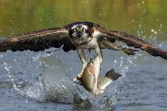Osprey Catching Trout Photograph by Scott Linstead - Osprey Catching Trout Fine Art Prints and Posters for Sale