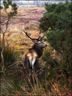 Scottish Stag [ Scotland Animals Deer HDR ]
