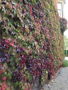 Parthenocissus tricuspidata amazing colour and once it gets established it covers huge areas.