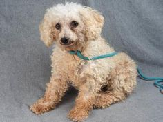 Adopt Candy, a lovely 7 years 9 months Dog available for adoption at Petango.com. Candy is a Poodle, Miniature and is available at the National Mill Dog Rescue in Colorado Springs, Co. www.milldogrescue.org #adoptdontshop #puppymilldog #rescue #adoptyourfriendtoday