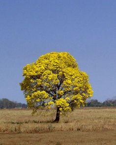 Ipê Amarelo - Handroanthus ochraceus Locais de ocorrência: Centro-Oeste, Sudeste e Sul.  Onde Plantar:Ruas, avenidas, jardins, praças, parques. Porte da Árvore: de 5 a 15 metros.