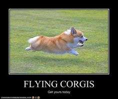 My corgi does this, but it's damn near impossible to get a shot of it.