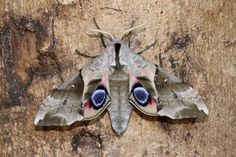 A male Smerinthus planus(Oriental Eyed Hawkmoth) a captive bred specimen, photographed by Roger Wasley on the day it emerged from its cocoon, 6th September 2015