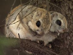 Japanese Dwarf Flying Squirrel, Japanese Dwarf Flying Squirrel Facts, Where to find Japanese Dwarf Flying Squirrel, Japanese Dwarf Flying Fox Squirrel, Habitat, What do they eat?, Diet, About, Tail, North, Grey, Predators, Pictures, Endangered, Information