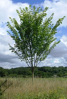 Juniperus mature sabin width walking width