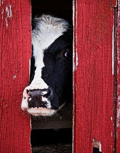 Cow in a red barn