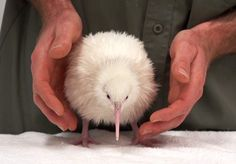 Rare White Kiwi Hatches Just in Time for Christmas : TreeHugger, I don't care when this article came out, look at this adorable kiwi! List Of Animals, Rare Animals, Melanistic Animals, Nights In White Satin, Kiwi Bird, Haha, Animal Magnetism, Animals Beautiful, Adorable Animals