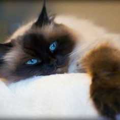 What is a seal point himalayan cat