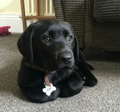 Discover The Friendly Black Labrador Retriever Pups Temperament You are in the right place about Pet photography … Black Lab Puppies, Cute Puppies, Dogs And Puppies, Cute Dogs, Doggies, Corgi Puppies, Black Puppy, Sweet Dogs, Baby Dogs