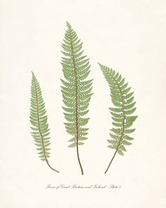 Vintage Botanical Illustration Ferns of by HighStreetVintage