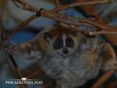 Pygmy lorises travel along branches moving hand over foot and are very difficult to detect among the dense vegetation. This moment was captured by Camera Club member Karin Helstrom.