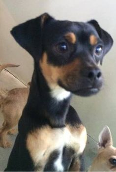 #A476499 Release date 12/12 I am a male, tricolor Miniature Pinscher and Chihuahua - Smooth Coated mix. Shelter staff think I am about 1 year and 6 months old. I have been at the shelter since Dec 05, 2014.  City of San Bernardino Animal Control-Shelter. https://www.facebook.com/photo.php?fbid=10204100787097519&set=a.10203202186593068&type=3&theater