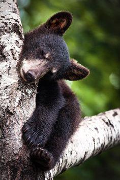 (14) Twitter, sleepy baby bear...