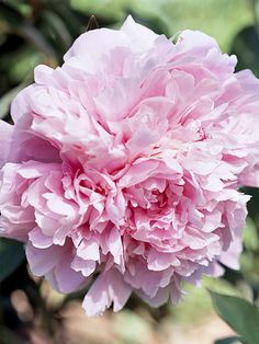 Sarah Bernhardt  An old-fashioned heirloom from the early 1900s, we think 'Sarah Bernhardt' is still one of the loveliest peonies there is.  Name: Paeonia 'Sarah Bernhardt'  Bloom Time: Late season  Growing Conditions: Full sun and well-drained soil  Size: 36 inches tall  Zones: 3-7  Native to North America: No  Why We Love It: The flowers are a gorgeous shade of soft pink and filled with rich, sweet fragrance.