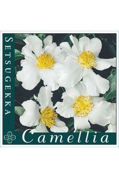 Camellia Setsugekka Camellia, Nursery, Park, Garden, Plants, Garten, Baby Room, Lawn And Garden, Parks