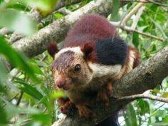 Indian Giant Squirrel aka Malabar Squirrel is a real thing!  A purplish  squirrel!