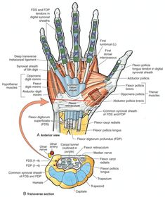 View of the wrist showing the flexor retinaculum at the wrist and the carpal tunnel where the median nerve passes and subsequently can become compressed resulting in carpal tunnel syndrome. Wrist Anatomy, Hand Anatomy, Body Anatomy, Anatomy Study, Upper Limb Anatomy, Hand Surgery, Median Nerve, Body Map, Carpal Tunnel Syndrome