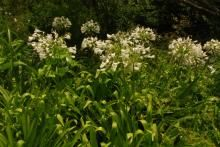 Top 5 White Indigenous groundcovers for the shade African Lily, Dry Well, Water Wise, Replant, Types Of Plants, Love Flowers, Shrubs, Top