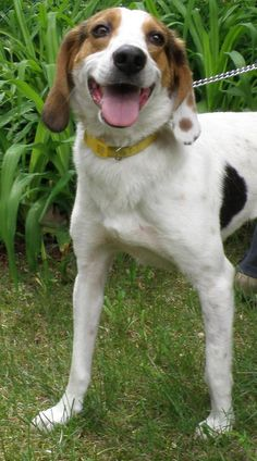 Today's #FurryFriendFriday interviewee is as cute as a daisy, in fact, that's her name! Meet Daisy, a 2 year-old #hound mix up for adoption at the Sterling Animal Shelter in Sterling, #MA #adopt
