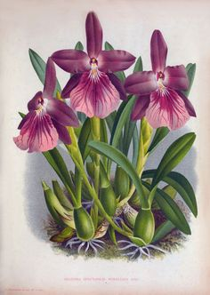 New item in my etsy shopMiltonia spectabilis var. moreliana Miltonia moreliana Orchid Victorian botanical illustration reproduction L09 by PanchromaticaDesigns. Find it here http://ift.tt/1XREf5r
