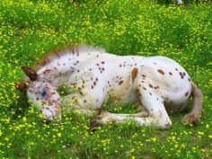 Brown Leopard Appaloosa Foal
